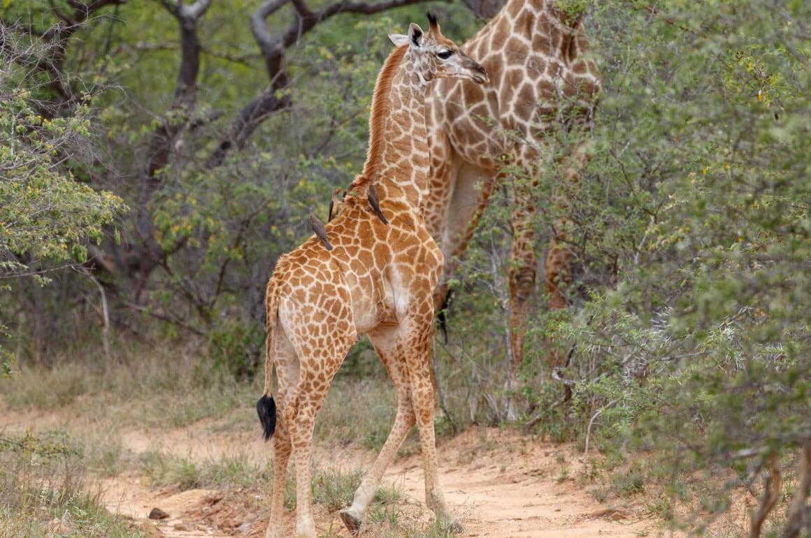 Giraffe mit Rotschnabelmadenhacker