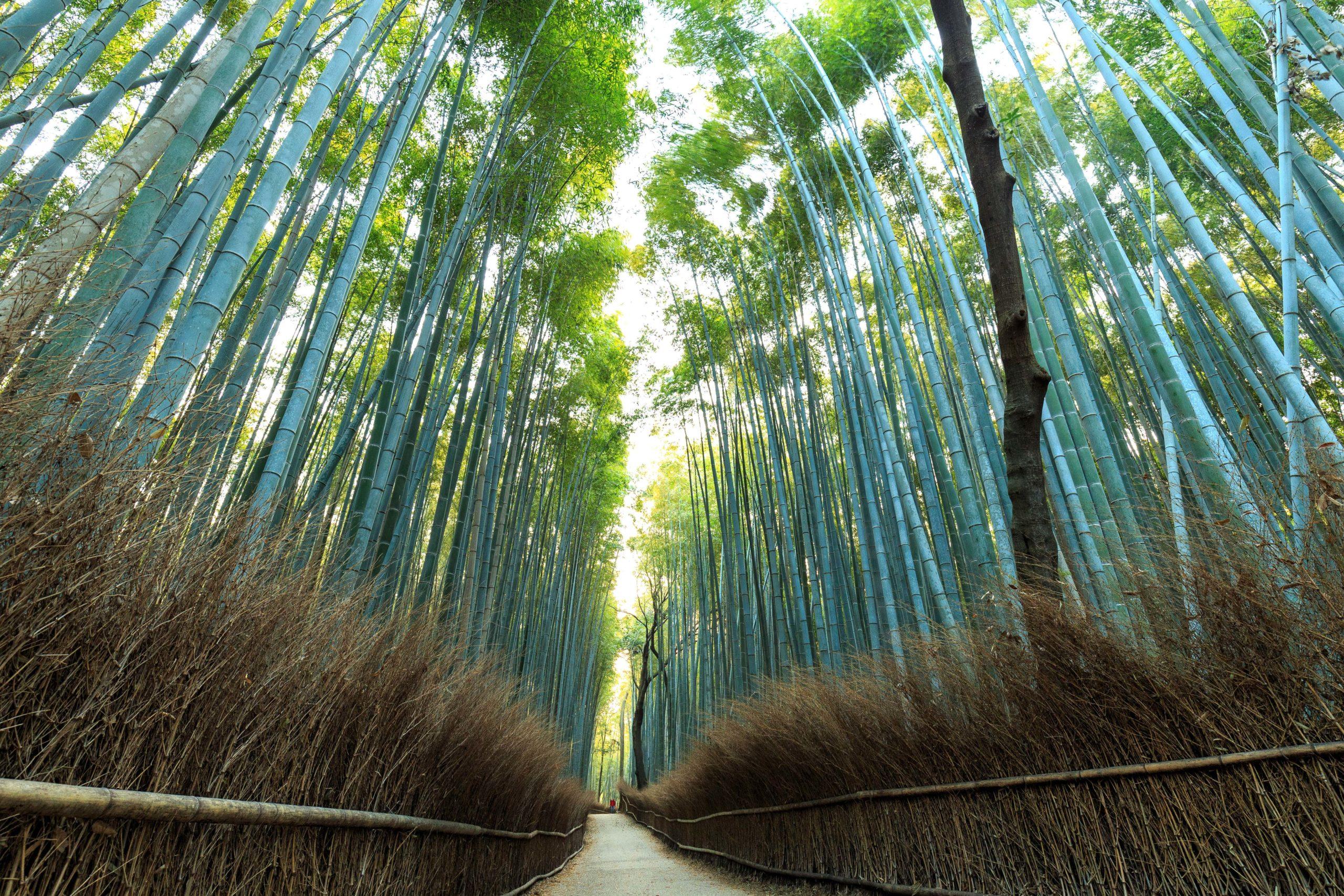 Bamboo Forrest nach Sonnenaufgang
